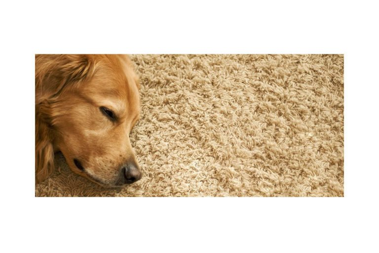 healthy carpets dog on carpet